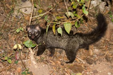 w-Common-Palm-Civet