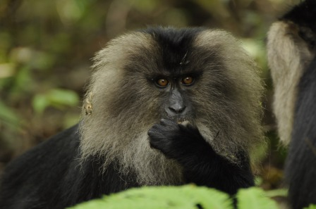 lion-tailed-macaque-